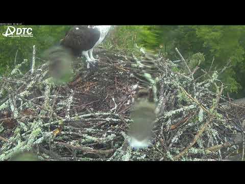 LIVE 4K Osprey