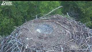 Preview of stream Osprey nest bird cam in Carthage, USA