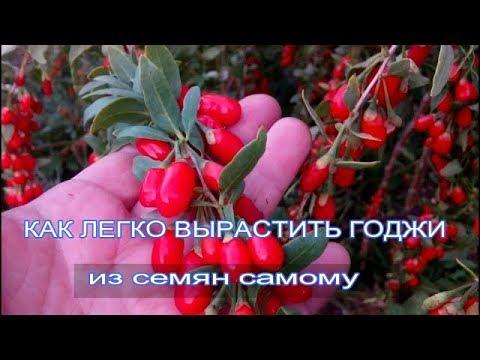 КАК ЛЕГКО ВЫРАСТИТЬ ГОДЖИ из семян самому
