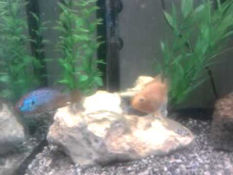 My baby parrot fish and jewel cichlid - YouTube