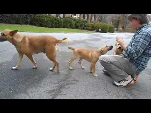 Carolina Dog pups
