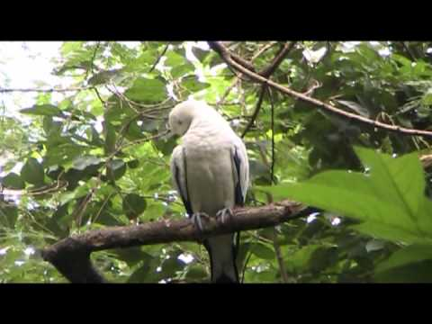 นกลุมพูขาว(Pied Imperial Pigeon)