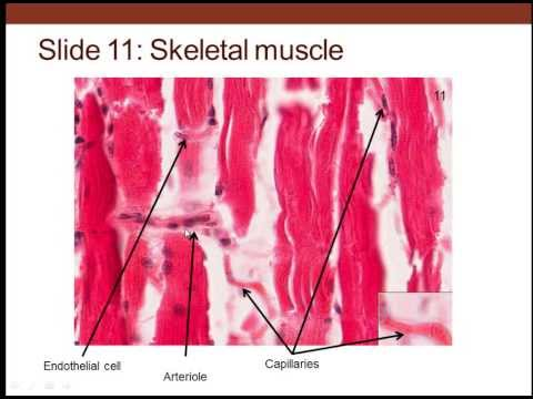 6. Medical School Histology. Cardiovascular System Part 1. (Vessels and Walls)