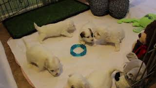 Coton Puppies For Sale - Isabella 7/28/20
