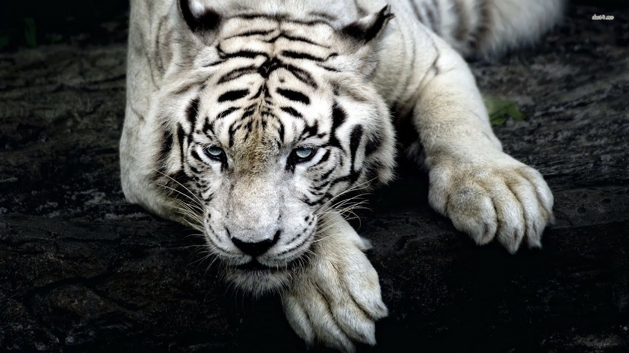 rare videos of siberian tigers in the wild - youtube