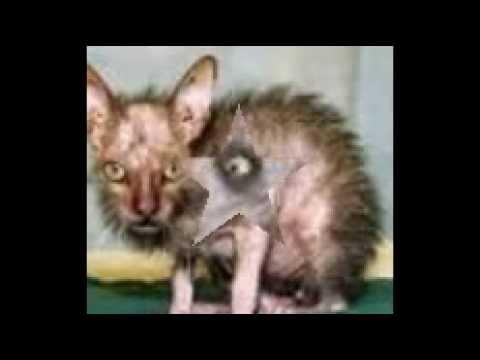 Le top 10 des chats les pus moches de guguss youtube for Le plus beau coq du monde