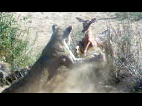 Lion Catches And Kills Impala Mid-Air