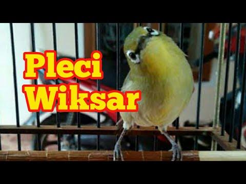 Pleci Wiksar | ngriwik kasar Belajar ngalas