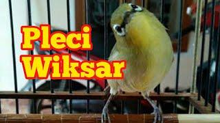 Download Video Pleci Wiksar | ngriwik kasar Belajar ngalas MP3 3GP MP4
