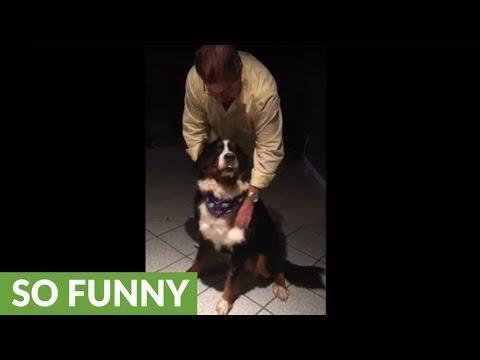 Bernese Mountain Dog goes wild when grandma visits