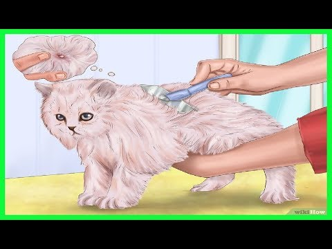 Como eliminar las pulgas de mi gato youtube - Como erradicar las pulgas ...