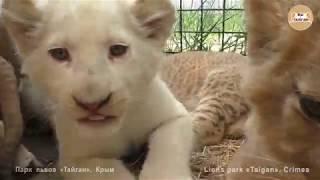 Львята и тигрята - детский сад Тайгана | Cubs lion and tiger - kindergarten of Taigan.