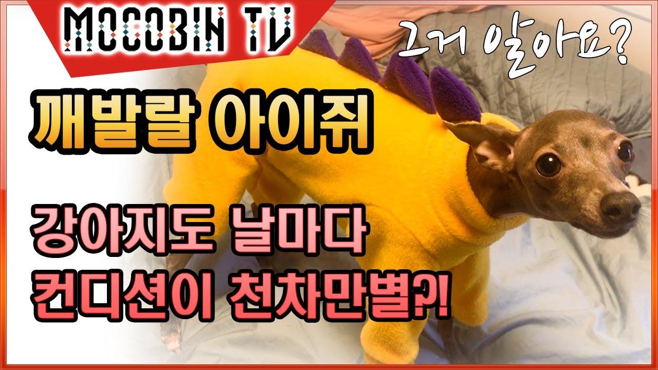 [일본 브이로그] 아이쥐 | 강아지도 사람같이 날마다 컨디션이 천차만별?! 깨발랄 반려견 이탈리안 그레이하운드! ep11