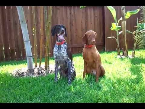German Shorthair Pointer and Vizsla