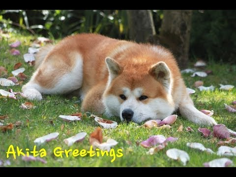 Akita ken 秋田犬 - Haku - Greetings happy dog HD