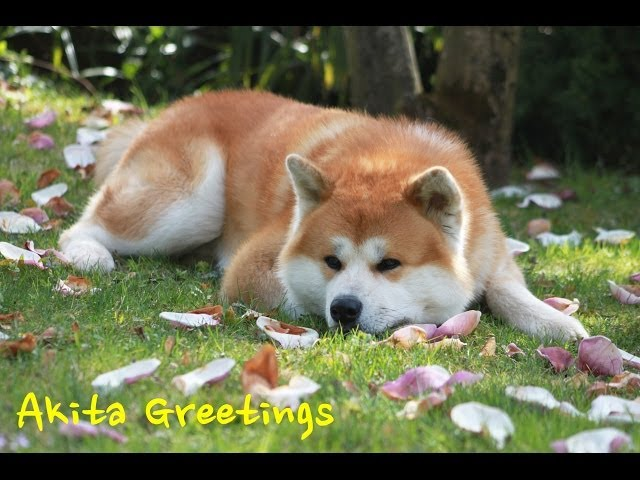 Akita ken 秋田犬 – Haku – Greetings happy dog HD