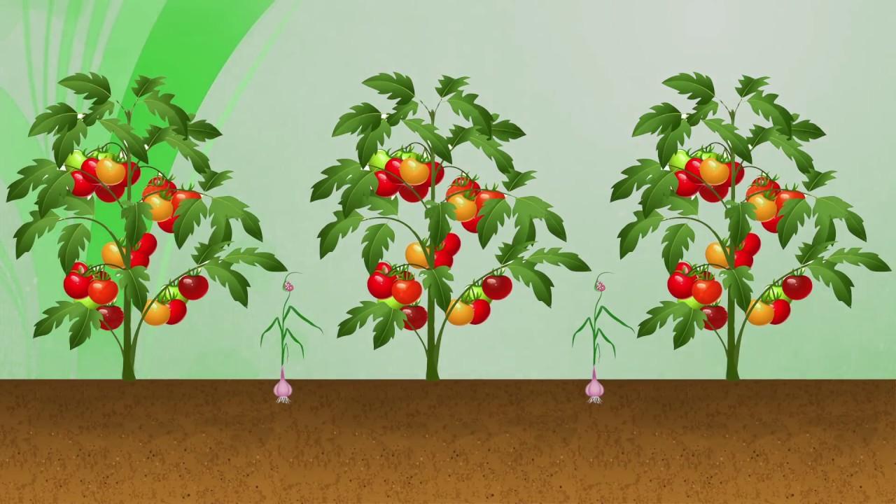 Come coltivare i tulipani a casa in acqua e in vaso | DonnaD