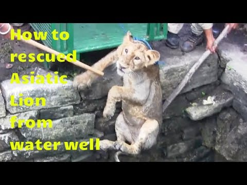 कुवे मे गिरे बब्बर शेर को कैसे बचाया How to rescued asiatic Lion from water well