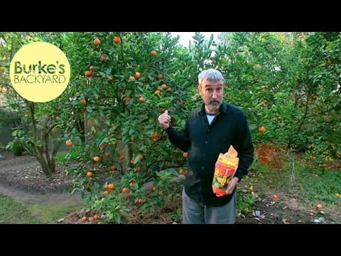Burke's Backyard, Fertilising & Pruning Citrus & removing citrus gall wasp