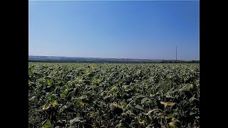Обзор подсолнечника НС Таурус 27.08.18