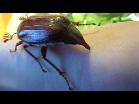 Меня чуть ни укусил майский жук!!
