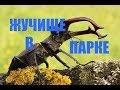Жук Олень гуляет по парку / Stag beetle walks in the park