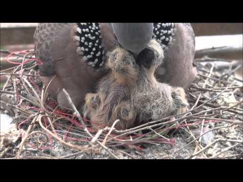 珠頸斑鳩生態影像札記-雙胞胎誕生第三天-餵食秀