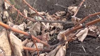 видео Формировка виноградного куста  в зоне укрывного виноградарства