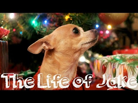 Meet My Chihuahua | The Life Of Jake