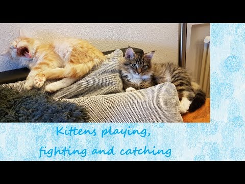 Kitten spielen und kämpfen - Kittens playing fighting catching