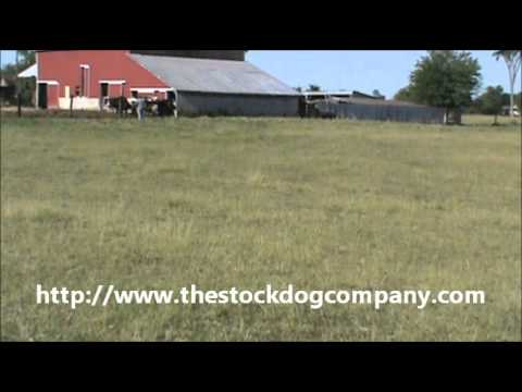 Bailey, Cow Dog, Australian Kelpie bringing cattle out of the barn