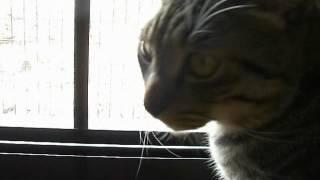愛猫ドラくんがすずめに威嚇している声です。毎日パトロールしてすずめに威嚇しています。