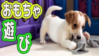 生後3ヶ月のジャックラッセルテリア ヤンチャな子犬の綱引き遊び ==...