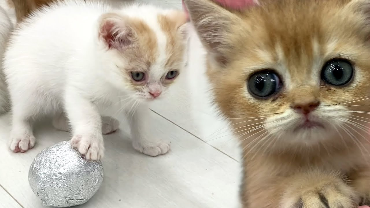 Kittens reaction to football with adopted kitten Kira