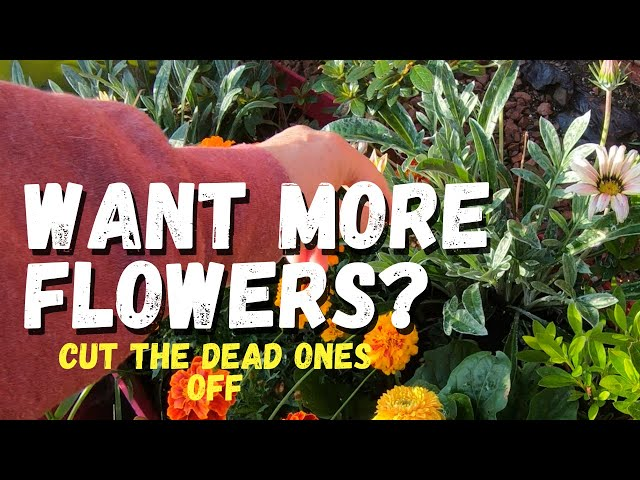 Want more flowers? Cut the dead ones off
