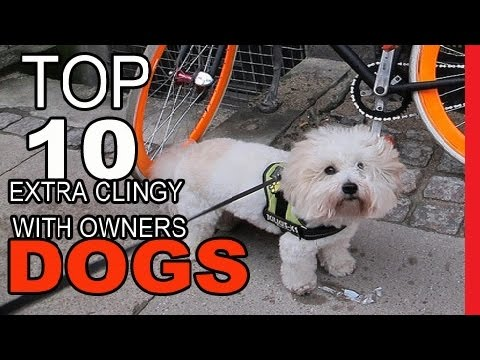 Top 10 Dog Breeds That Are Extra Clingy With Their Owners