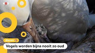 Albatros Wisdom (70) krijgt een kuiken
