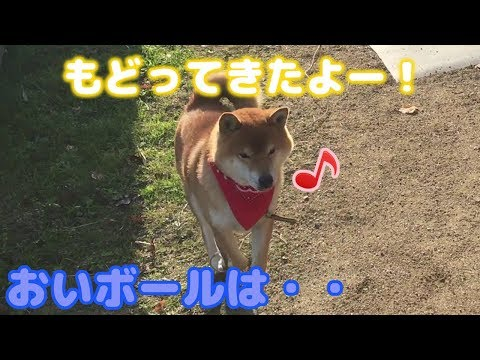 ボールを放置して嬉しそうに戻ってくる柴犬 Japanese dog Shiba Inu was playing with the ball, but..