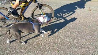 Pitbull Puppy Pulling Bike
