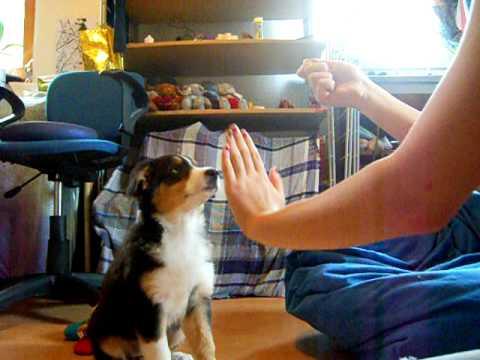 Amy lernt die ersten Tricks ;) (10 Wochen)