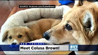 Corgi Owners Rejoice As Gov. Jerry Brown Adds Colusa Brown To His Family