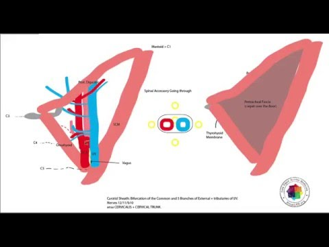 Carotid Triangle of the Neck Anatomy Tutorial (Mosaiced.org) - YouTube
