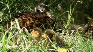 Laysan Duck with chicks on Midway Atoll