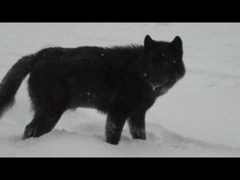 Romeo the Wolf at Mendenhal Glacier Juneau, Alaska