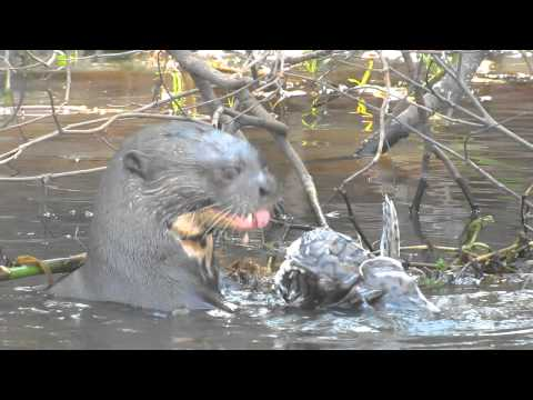 Giant Otter Eating Fish Trogon Tours - Www.trogontours.com
