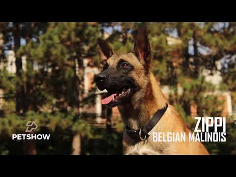 Trained Belgian Malinois - Zippi