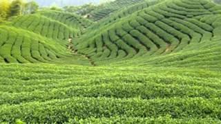 Sri Lanka`s Tea Estate