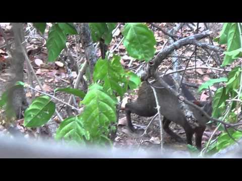 Bow Hunting / Caceria en Venezuela Picure