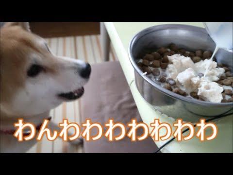 柴犬小春 ON MY BEATご飯の準備の位置がいつもと違うと騒がしい!おからと豆乳!大豆づくし【ASMR】