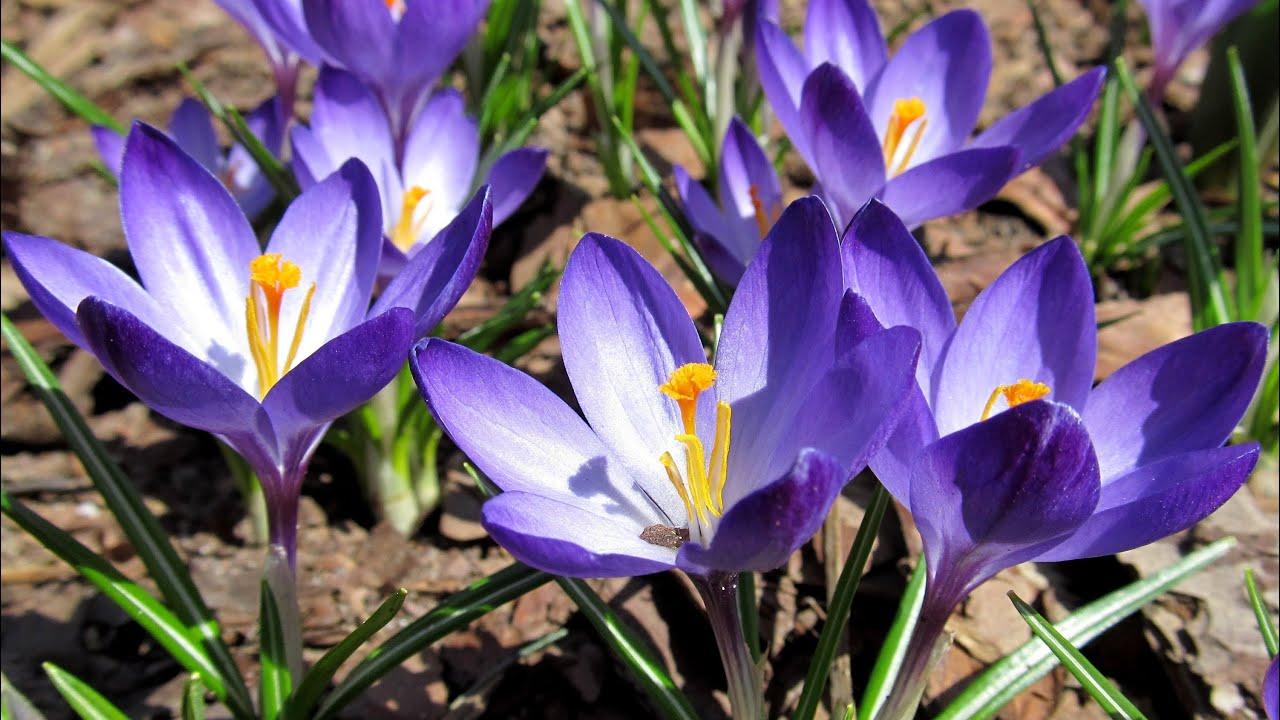 Wczesna Wiosna W Ogrodzie Wiosenne Kwiaty Early Spring In The Garden Spring Flowers Youtube